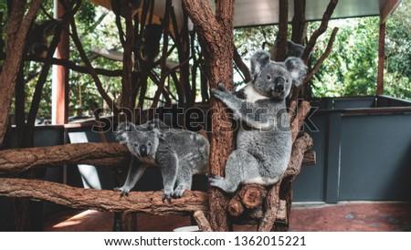Kangaroos Koalas Lone Pine Sanctuary