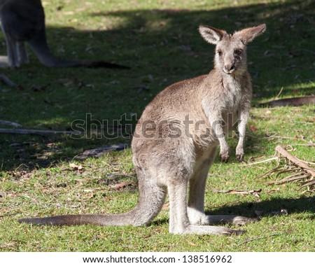 Kangaroos on open grassland at coastal new south wales australia