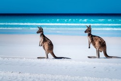 Kangaroos on the beach beside the surf at Lucky Bay, Cape Le Grand National Park, Esperance, Western Australia