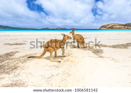 kangaroos standing at Lucky Bay in Cape Le Grand National Park, near Esperance in Western Australia. Lucky Bay is one of Australia's most well-known beaches known for pristine white sand and kangaroos