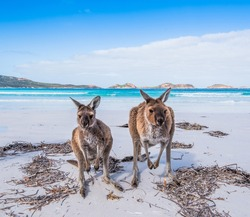 Kangaroos visiting a beach