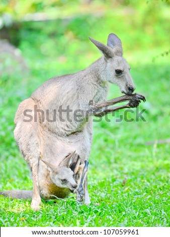 Kangeroo licking its fur