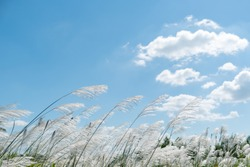 Kans grass , Saccharum spontaneum in the wind blue sky background