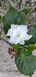 kantil flower with a beautiful and charming white color
