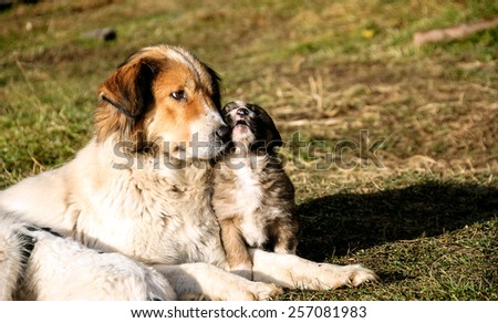 Karakachan dog/ Bulgarian shepherd dog and her young daughter.