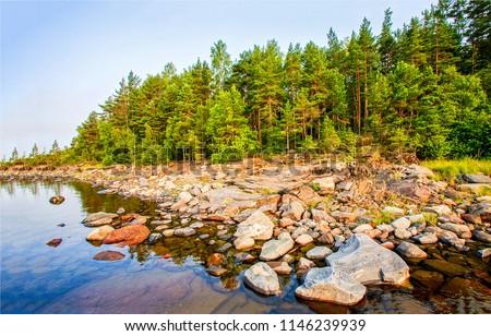 karelia pine tree forest lake...