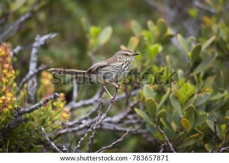 Karoo or spotted prinia, Prinia maculosa, sitting on branch overlooking fynbos or scrubs