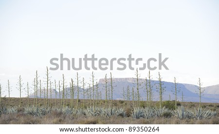 karroo landscape. agave cactus fruiting in the karoo, blouboskuil,graaff reinet,eastern cape, south africa