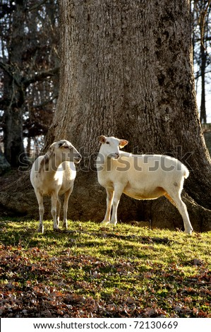Katahdin Sheep by large Oak tree on family farm, Webster County, West Virginia, USA