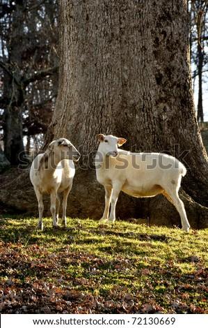 Katahdin Sheep by large Oak tree on family farm, Webster County, West Virginia, USA - stock photo