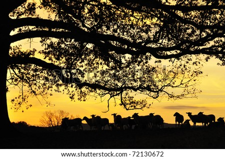 Katahdin Sheep under Oak tree at sunrise on family farm, Webster County, West Virginia, USA