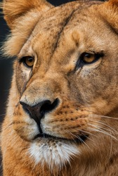 Katanga Lion - Panthera leo bleyenberghi, iconic animal from African savannas, Kalahari, Botswana.