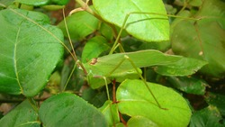 Katydid  katydid in the nature on the leaves green katydids. camouflage katydid. camouflage insects camouflage animals insects, insect, bugs, bug, animal, wildlife, wild nature, forest, woods, garden