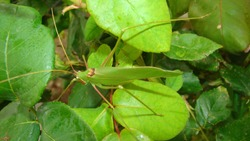 Katydid. katydid in the nature on the leaves green katydids. camouflage katydid. camouflage insects. camouflage animals insects, insect, bugs, bug, animal, wildlife, wild nature, forest, woods, garden