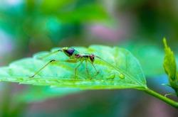 Katydid nymph (Scudderia) with long antennae in its natural habitat on a green leaf after a rain. Green Katydid nymh in Western Ghats, Karnataka, India