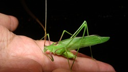 Katydid on the hand   green katydids isolated on black background  camouflage katydid. camouflage insects camouflage animals insects, insect, bugs, bug, animal, wildlife, wild nature, forest, woods