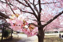 kawazu cherry blossoms in utunomiya