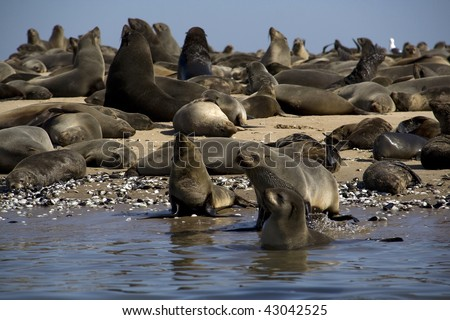 Kayaking around Pelican Point with seal colonies all around walvis Bay Nambia
