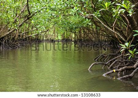 Kayaking through the mangrove jungle