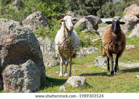 kayalık arazide iki beyaz ve kahverengi koyun fotoğrafı Stok fotoğraf ©