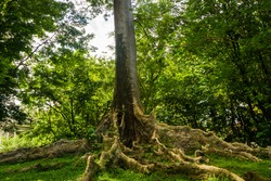 Kayu Raja or The King Tree from asia with big root and one of the biggest tree in the world photo taken in Kebun Raya Bogor Indonesia