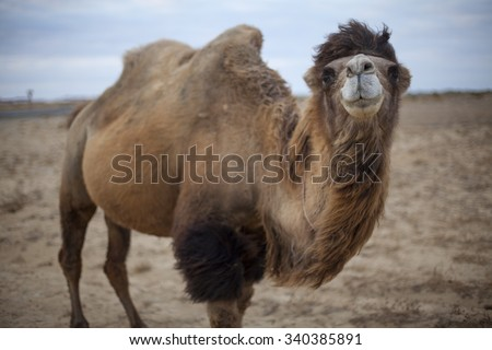 Kazakhstan two humped camels