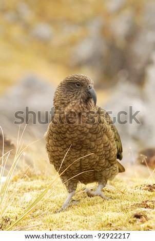 kea, alpine parrot from New Zealand