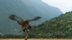 kea bird from New Zealand