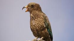 Kea bird on rock with open beak