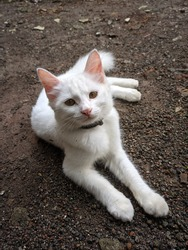 Kediri, Indonesia - February 13, 2021: My favorite white cat is lying on the terrace behind my house