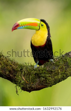 Keel-billed Toucan, bird with big bill sitting on branch in the forest, Nature in central America. Beautiful bird in nature habitat, side portrait