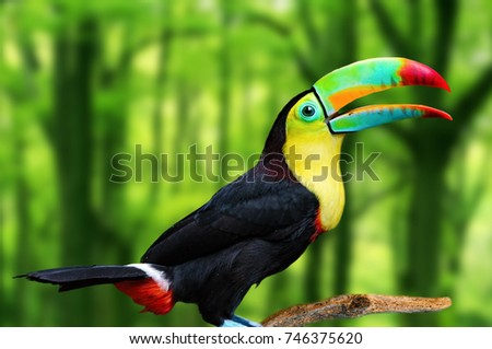 Shutterstock Keel billed toucan, bird with big bill. Toucan sitting on a branch in the forest. Toucan closeup. Beautiful bird in nature. Background image.