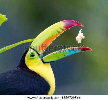 Keel-billed toucan flips his food into his beek