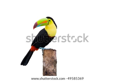 Keel Billed Toucan, from Central America. Isolated on White