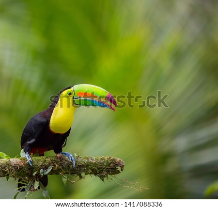 keel billed toucan in its natural habitat