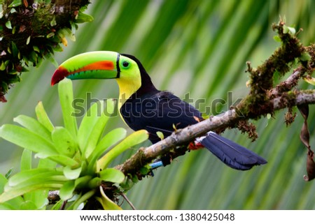 Keel billed Toucan perched in a tree
