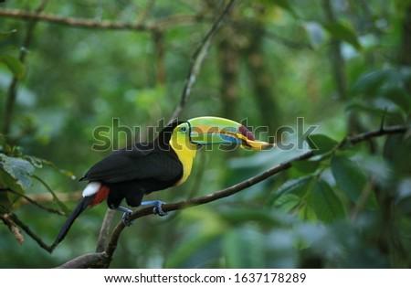 KEEL-BILLED TOUCAN ramphastos sulfuratus, ADULT EATING FLOWER, COSTA RICA