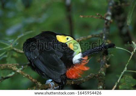 Keel-Billed Toucan, ramphastos sulfuratus, Adult Preening on Branch, Costa Rica