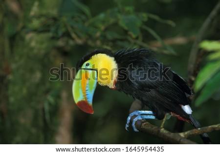 Keel-Billed Toucan, ramphastos sulfuratus, Adult standing on Branch, Costa Rica