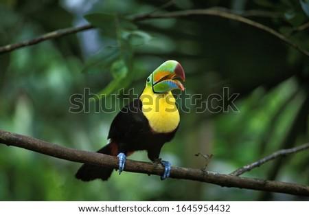 Keel-Billed Toucan, ramphastos sulfuratus, Adult standing on Branch with opened Beak, Costa Rica