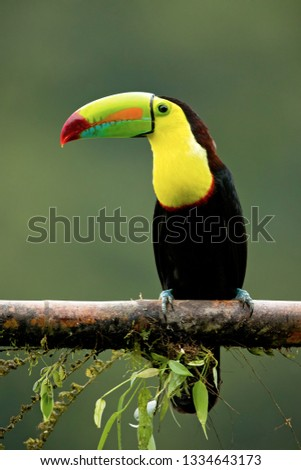 Keel-billed toucan (Ramphastos sulfuratus), also known as sulfur-breasted toucan or rainbow-billed toucan, is a colorful Latin American member of the toucan family. It is the national bird of Belize