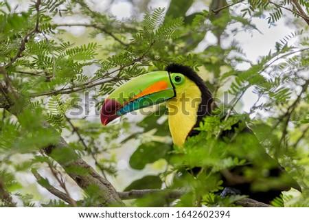 Keel-billed Toucan (Ramphastos sulfuratus), bird of Belize, at rainforest of Costa Rica
