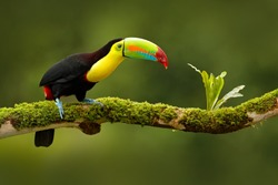 Keel-billed Toucan, Ramphastos sulfuratus, bird with big bill, sitting on the branch in the forest, Boca Tapada, green vegetation, Costa Rica. Nature travel in central America.