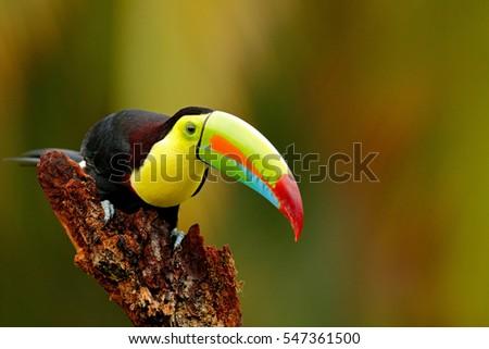 Keel-billed Toucan, Ramphastos sulfuratus, bird with big bill sitting on the branch in the forest, Boca Tapada, Laguna de Lagarto Lodge, Costa Rica. Nature travel in central America.