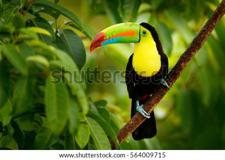 Shutterstock Keel-billed Toucan, Ramphastos sulfuratus, bird with big bill. Toucan sitting on the branch in the forest, Boca Tapada, green vegetation, Costa Rica. Nature travel in central America.