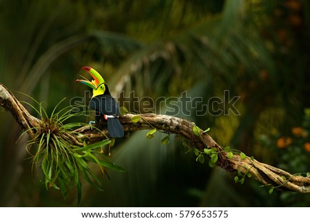 Keel-billed Toucan, Ramphastos sulfuratus, bird with big open bill. Toucan sitting on the branch in the forest, Boca Tapada, green vegetation, Costa Rica. Nature travel in central America.
