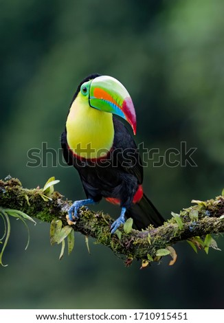 Keel-billed toucan(Ramphastos sulfuratus) closeup perched on a mossy branch in the rainforests of Costa Rica