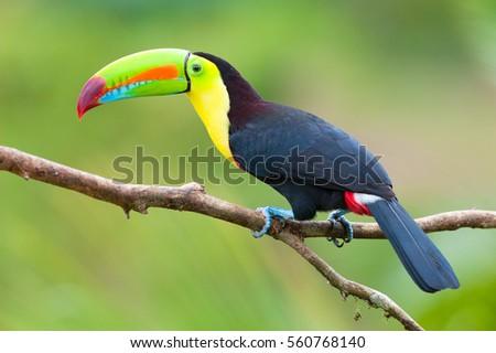 Keel-Billed Toucan (Ramphastos sulfuratus), Costa Rica