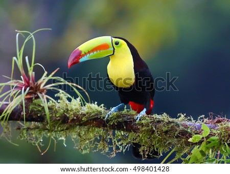 Keel-billed toucan Ramphastos sulfuratus, perched on a mossy branch in the rainforests, Boca Tapada, Laguna de Lagarto Lodge, Costa Rica