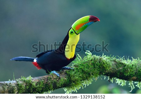 Keel-Billed Toucan (Ramphastos sulfuratus), sitting on the branch in the nature. Costa Rica - Image